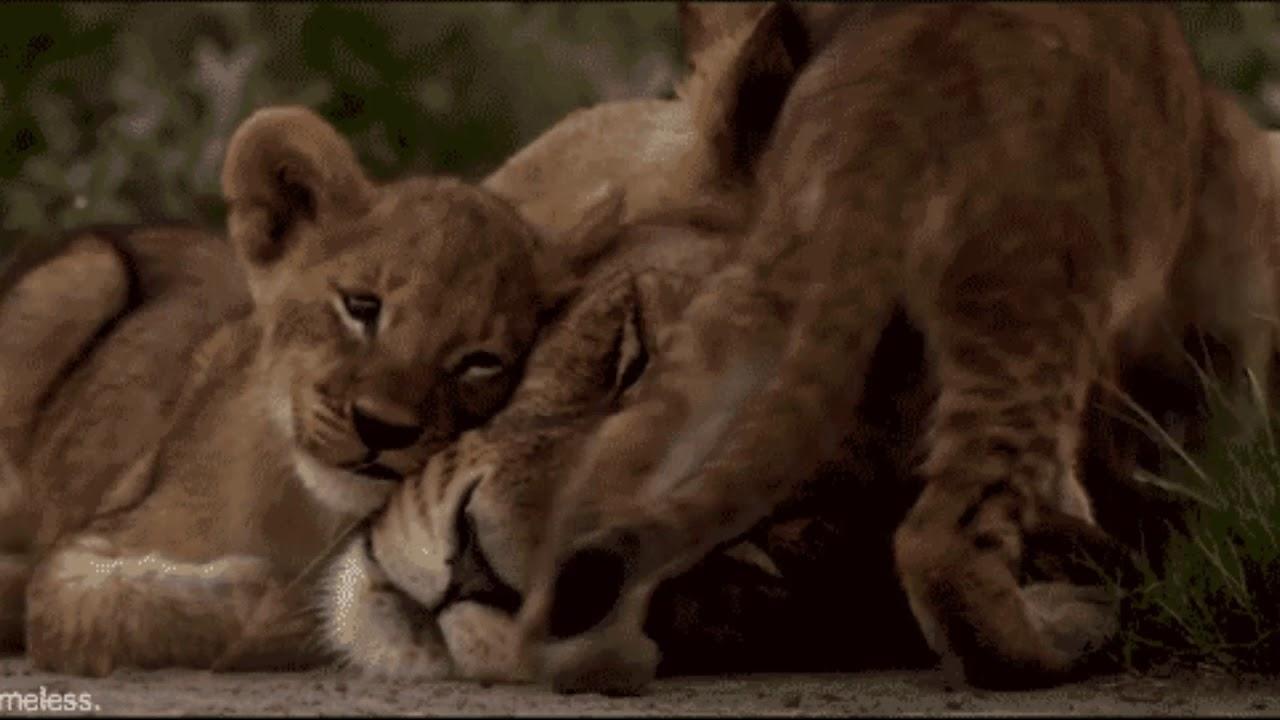 Картинки анимация львица, верой надеждой