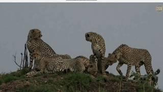 Gepardy - świat zwierząt Afryki  ,, Safari