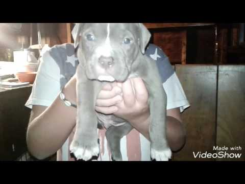 AMERICAN BULLY PUPS FOR SALE @ 4 WEEKS OLD $1500 CHESAPEAKE VA