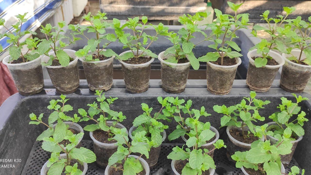 Cách trồng Húng Lủi Ly bằng ngọn non ra được nhiều nhánh  | Khoa Hien 414