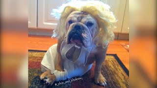 2 Adorable Bulldogs in Halloween Costumes