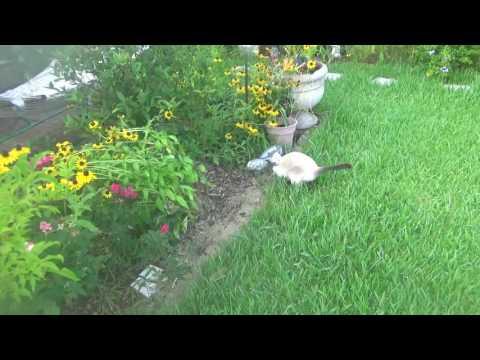Poor Siamese Cat has to wear ecollar. Walking funny...