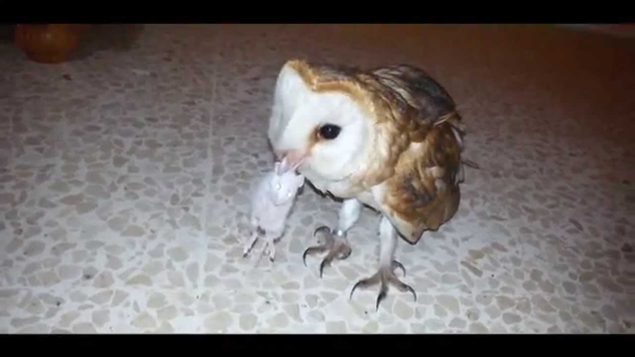 MY PET PUPO THE BARN OWL & THE MOUSE - YouTube