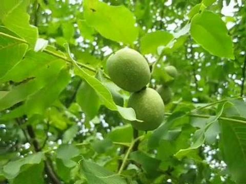 как растёт грецкий орех фото