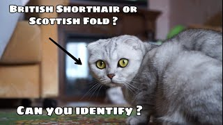 Cat Breeds   Do you know about cat breeds? Is it British Shorthair? #cat_breeds #britishshorthair