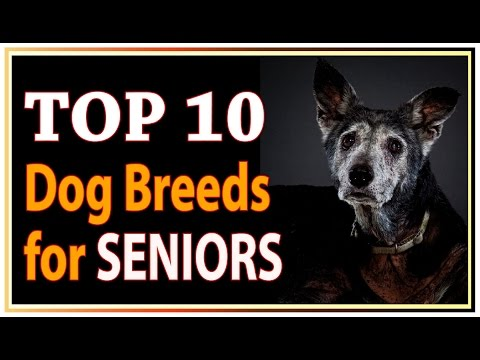 Top 10 Best Dog Breeds for Seniors and Retirees !! dogs 101