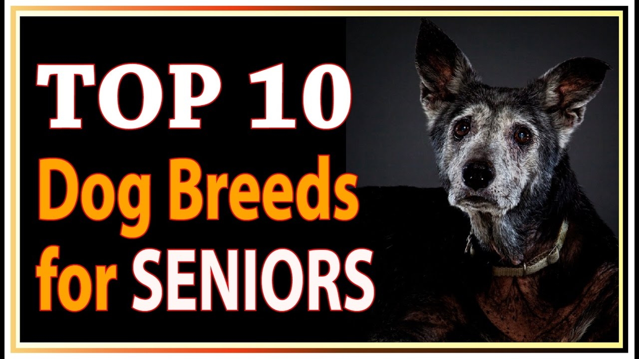 Top  Best Dog Breeds For Seniors