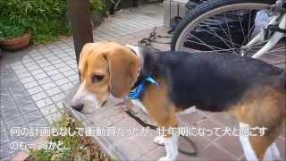 ペットショップマルエスで特売されていた、ビーグル犬。広告を見て見に...