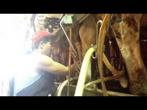 Si Analee @ Milking the cow Pt.2 - August 2015 - Mesa, Arizona
