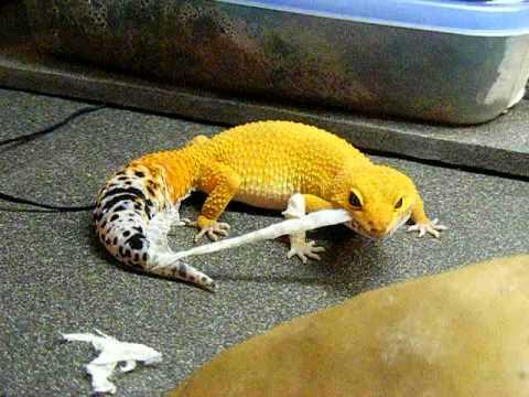 shtctb leopard gecko shedding (Super-Hypo Tangerine ...