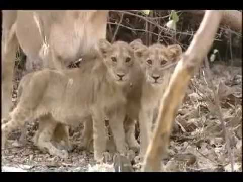 The Last Refuge - Documentary on Asiatic Lions