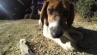Free Beagle!