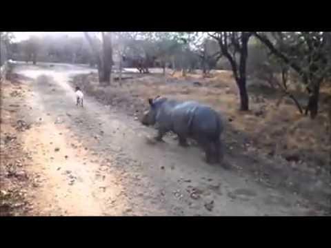 Rinoceronte vs Carneiro