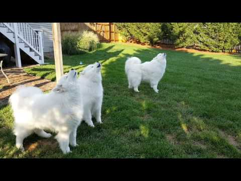 Singing Samoyeds. A true Barbershop Quartet. Biscotti joins in!