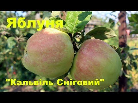 Яблуня Кальвіль Сніговий.