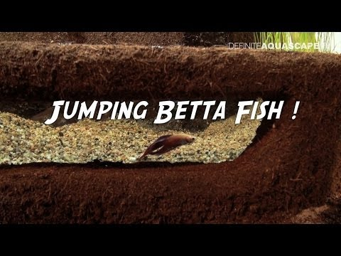 Jumping Betta fish - ZooBotanica 2013