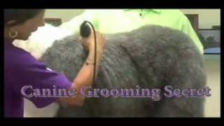 Super Styling Session Old English Sheepdog Grooming Tips