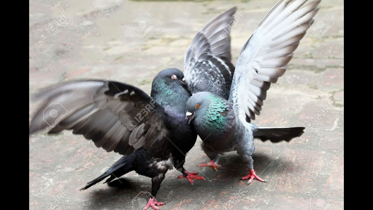 pigeon fight world best pigeon king raycher no 1 pigeon