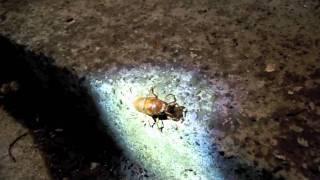 2011年8月3日、我が家の玄関にいたアブラゼミの幼虫ムービー.