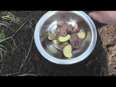 видео: Посадка картофеля под соломой