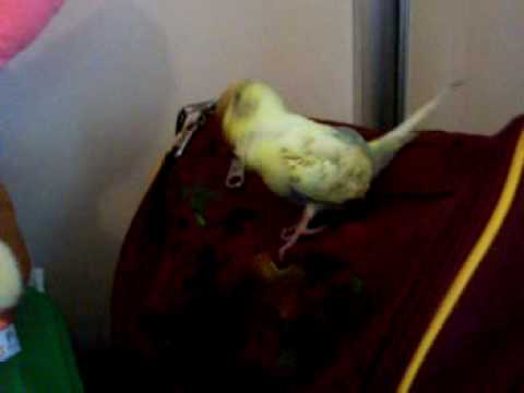 Bella My Pet Budgie climbing my school bag