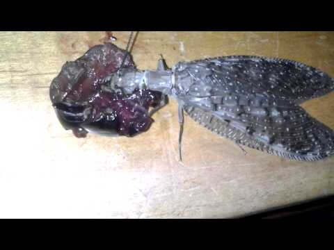 Adult female Dobsonfly loves cherry