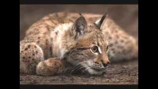 БОЛЬШИЕ КОШКИ музыка В мире животных Поль Мориа автор клипа Зоя Боур-Москаленко