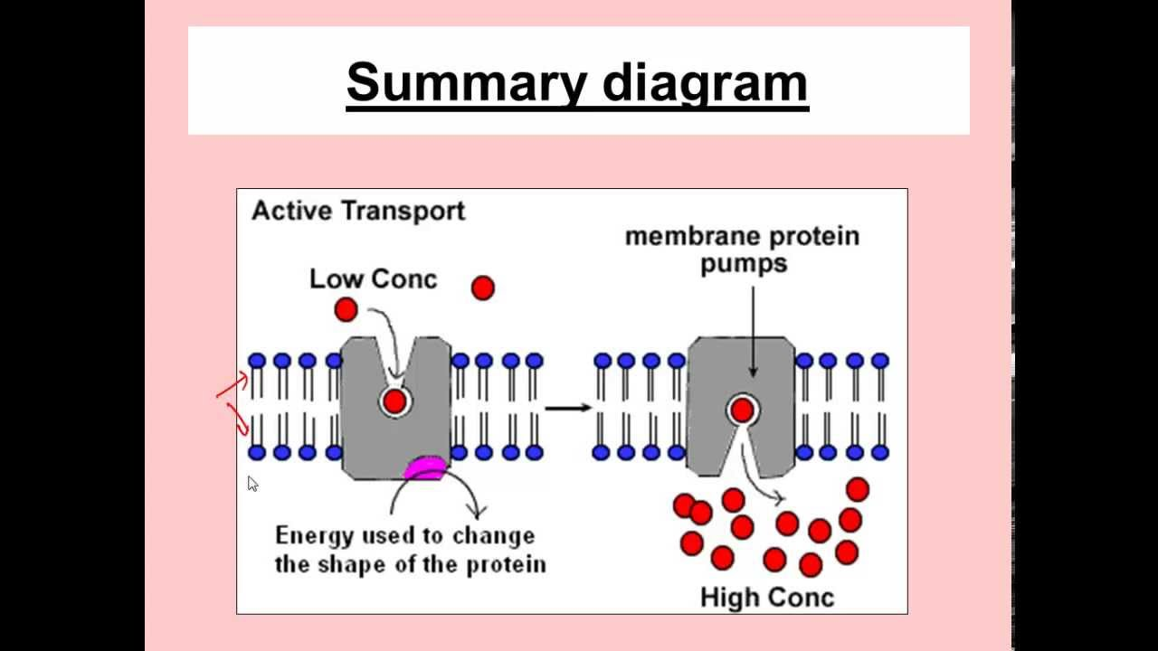 Active Transport for iGCSE Biology - YouTube