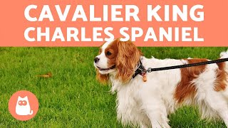 Cavalier King Charles Spaniel  CHARACTERISTICS and CARE