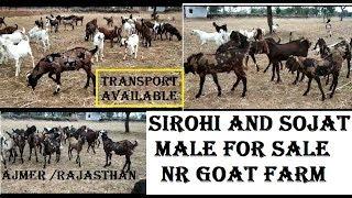 Sirohi AND Sojat Male Bakra For Sale|NR Goat Farm|Animals Vlog Kolkata