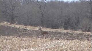 Giant Iowa Whitetail with a Muzzleloader