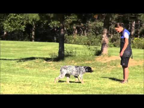 Kota (Australian Cattle Dog) Boot Camp Dog Training Video