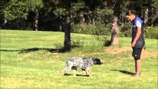 Kota (australian Cattle Dog) Boot Camp Dog Training Video