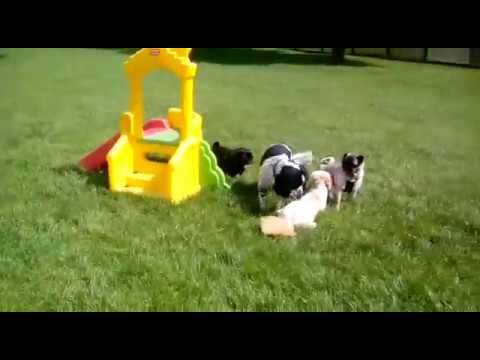 Dogs Playing @ Home From Home Pet Care Ltd August Week 1 2017