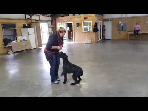 """Giant Schnauzer Female """"Yolo"""" Off Leash Obedience Dog For Sale Home Protection"""