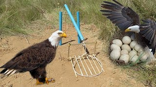 Easy Eagle Trap Using Pipe and Eagle Nest - How To Make Simple Eagle Trap 100%