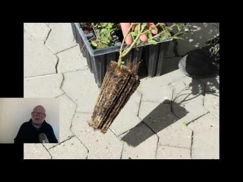 Hækplanter i potter
