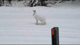 Финская гончая, заяц и Альфа 100