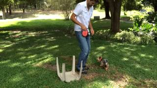 First Step For Yorkie Dog Training