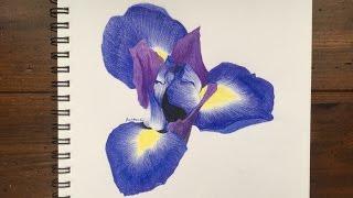 Drawing an Iris Flower