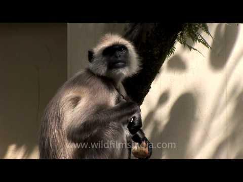 Langur on guard to keep monkeys away at Woodstock school Mussoorie