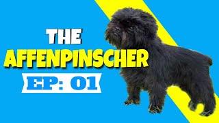 THE AFFENPINSCHER