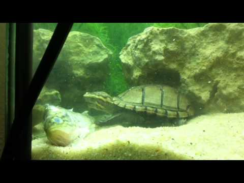 Mississippi Mud Turtle Enjoys A Fish!