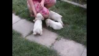 Бело-рыжие щенки американского кокер спаниеля