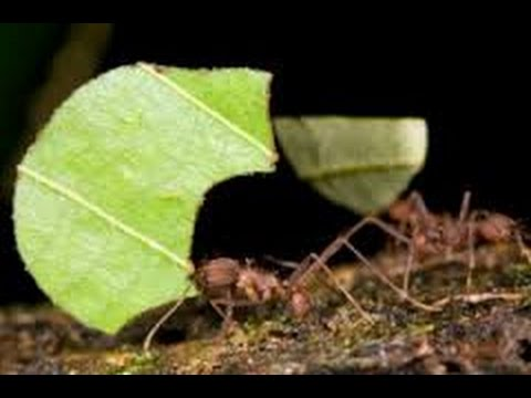Getting Rid Of Leafcutter Ants Youtube