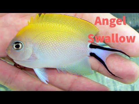 Memelihara Angel Swallow / Keeping  Swallowtail Angelfish (Spotbreast  Angelfish)