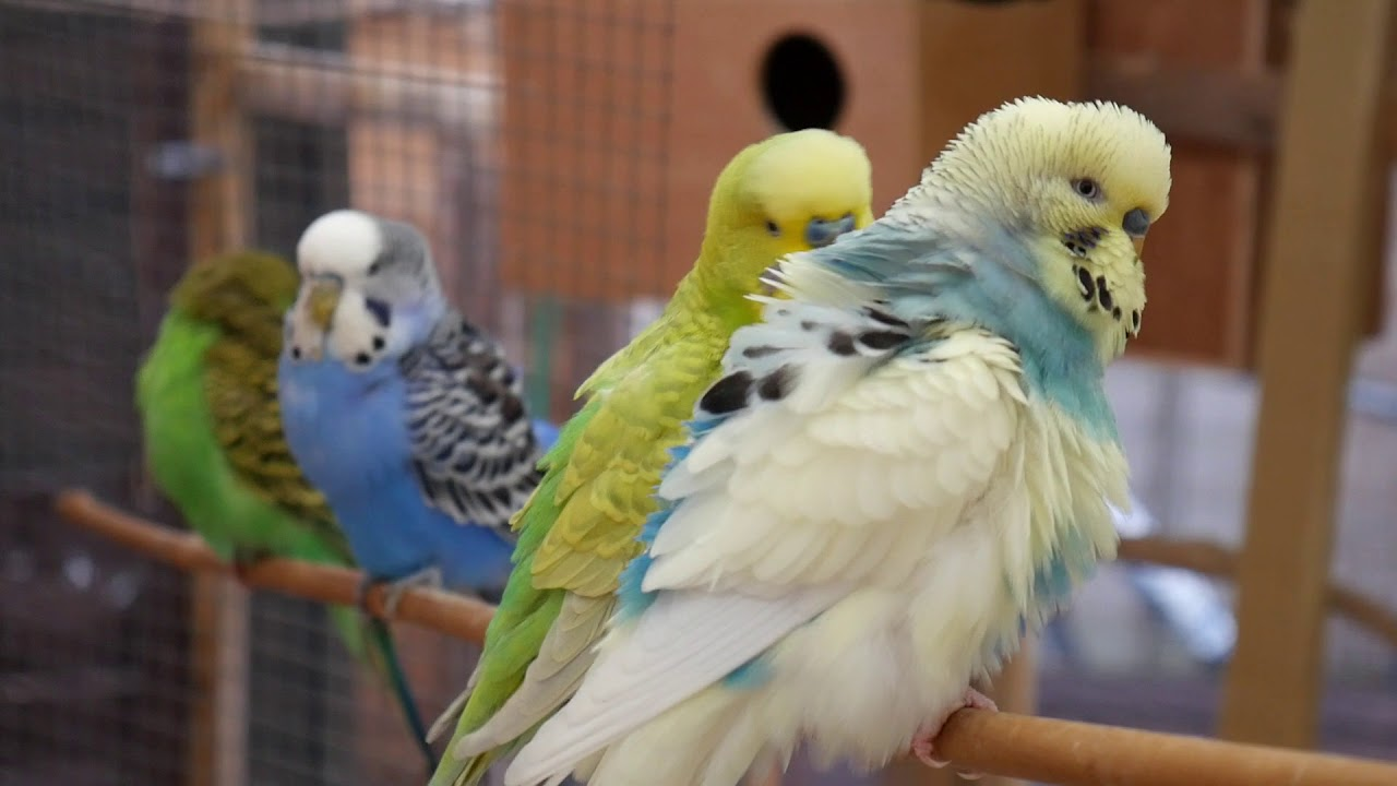30 Minutes of Budgies and Cockatiels playing singing in their aviary