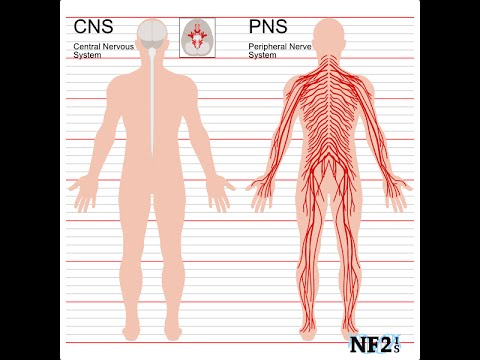 Central Nervous System Vs Peripheral Nervous System Youtube