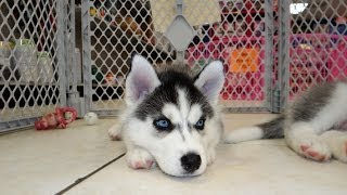 Siberian Husky, Puppies For Sale, In Atlanta, Georgia, Ga, Savannah,sandy Springs, Roswell