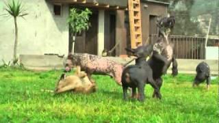 Peruvian Hairles Dog Puppies